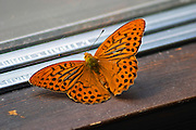 Small Fritillary butterfly resting on a window sill. Smaland region. Sweden, Europe.