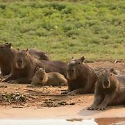 Capybara (Hydrochaeris hydrochaeris) family. Largest rodent in the world. Family. Pantanal. Brazil.