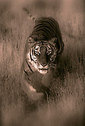Portrait of a bengal tiger, panthera tigris (toned black & white photo-illustration), property released by Randy Wells
