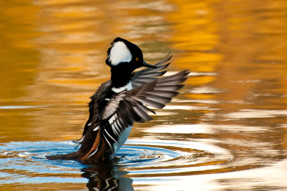A male hooded merganser shakes his feathers in a small pond in Medina, Washington.
