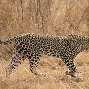 Leopard in Londolozi Game Reserve, South Africa.