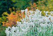 Wildflowers and fall color, Mount Rainier National Park, Washington