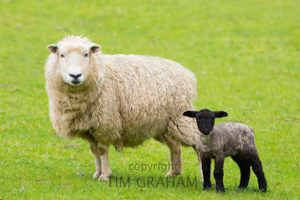 Sheep ewe and black lamb in Exmoor National Park, Somerset, United Kingdom