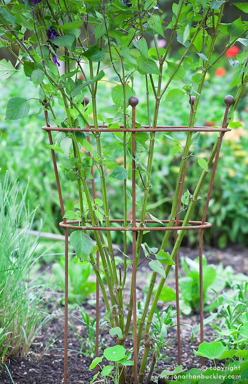 Plant support with Salvia 'Amistad'