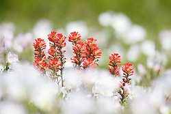 Indian paintbrush wildflowers in field of pink evening primrose near the Red River, Denison, Texas, USA.