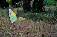 Butterfly-Clouded Yellow in flight (COLIAS CROCEA), Provence, France<br /> Insects in flight, high speed photographic technique, flying, wings, motion, insect Image by Andres Morya