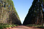 Eucalyptus plantation in Maranhao, northeastern Brazil, the trees are grown primarily for charcoal, to fire the burners situated on the same site. Reports of poor working conditions and bonded labour have been reported at some of the sites.
