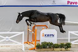 008, Nobel Rebel-S<br /> KWPN Hengstenkeuring 2021<br /> © Hippo Foto - Dirk Caremans<br />  03/02/2021