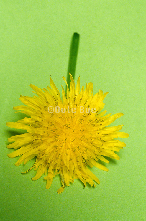 Close up of dandelion on green background