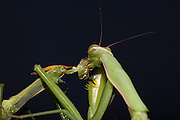 Sexual Cannibalism! Female Paying mantis Devours her partner<br /> <br /> imagine every time you made love to your partner you were dicing with imminent death. It might make<br /> you wary of having sex ever again (if you survived, that is!) yet male praying mantises can never be sure they will survive the sex act owing to their partners<br /> natural predatory instinct. Sexual cannibalism is a natural phenomenon whereby one organism (generally the female) eats the other (typically the Male) before, during or right after sex.<br /> this amazing sequence of photographers shows a female praying mantis eating her lover <br /> <br /> Photo shows: This pic gives a new meaning to the term 'necking'!<br /> the female praying mantis often begins her coital dinner by biting off her lovers head - frequently while he is still inside her! this head first approach is also the one mantises take when hunting regular prey<br /> ©Oliver Koemmerling/Exclusivepix Media