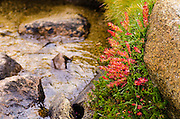 Indian Paintbrush and creek in Dusy Basin, Kings Canyon National Park, California USA