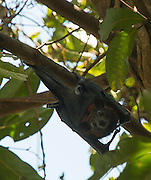 A fruit bat looking at you, Litchfield State Park, Northern Territory, Australia.