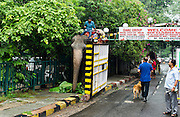 6th September 2014, New Delhi, India. An elephant ridden by a mahout squeezes past a gate to a colony in New Rajinder Nagar on its way to a wedding ceremony in New Delhi, India on the 6th September 2014<br /> <br /> <br /> Elephant handlers (Mahouts) eke out a living in makeshift camps on the banks of the Yamuna River in New Delhi. They survive on a small retainer paid by the elephant owners and by giving rides to passers by. The owners keep all the money from hiring the animals out for religious festivals, events and weddings, they also are involved in the illegal trade of captive elephants. The living conditions and treatment of elephants kept in cities in North India is extremely harsh, the handlers use the banned 'ankush' or bullhook to control the animals through daily beatings, the animals have no proper shelters are forced to walk on burning hot tarmac and stand for hours with their feet chained together. <br /> <br /> PHOTOGRAPH BY AND COPYRIGHT OF SIMON DE TREY-WHITE<br /> + 91 98103 99809<br /> email: simon@simondetreywhite.com photographer in delhi