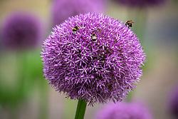 Allium 'Beau Regard' AGM with bumblebees