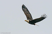 The Bald Eagle suddenly turned hard to its left and crossed in front of us.  We could see the power of its flight and its expression appeared almost serious.  Mud seemed to be on its bill and its eyes looked straight forward.  Its body arched as it sharply banked in the turn.