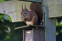 Wildlife photography, red squirrel
