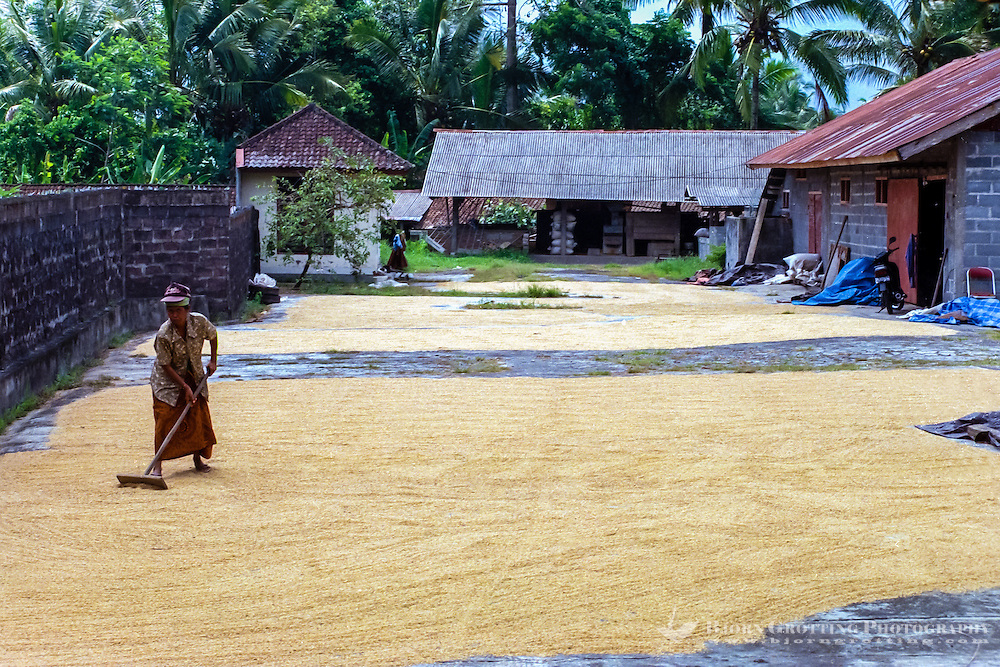 Bali, Badung, Perean. A small village south of Bedugul. The rice harvest is spread out and dried in the sun.