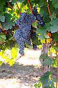 Bunches of ripe grapes. Castel del Remei, Costers del Segre, Catalonia, Spain.