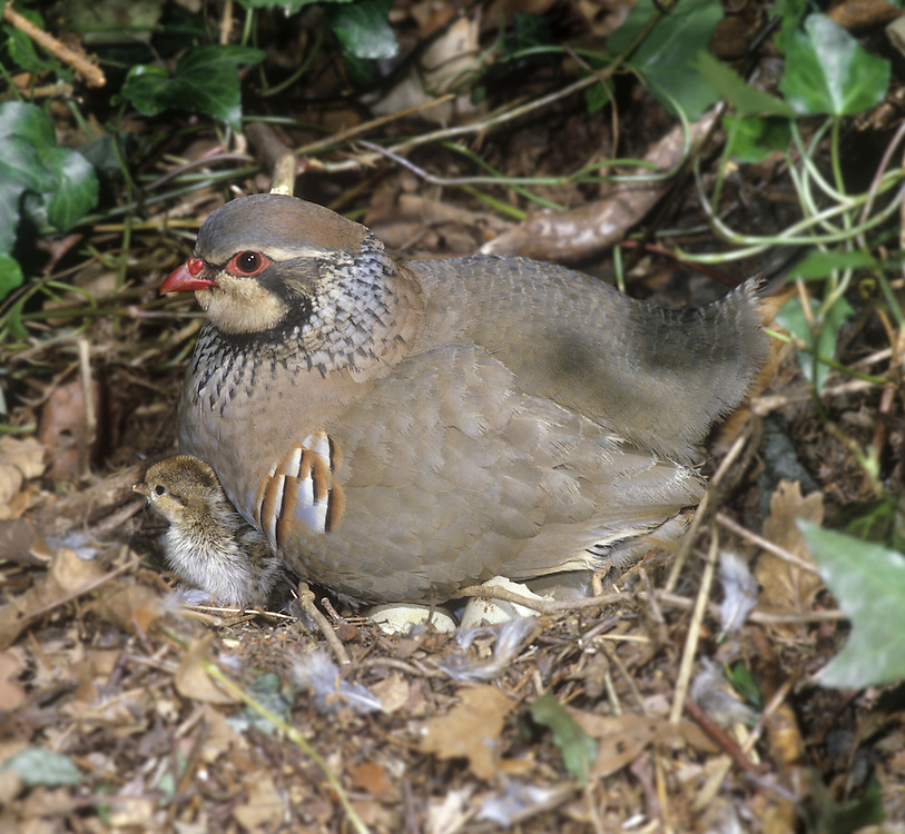 Red-legged Partridge Alectoris rufa - Adult at nest with chicks. L 32-34cm. Dumpy, well-marked gamebird. Forms small parties (covies), outside breeding season. Hunted and often wary. Prefers to run from danger but flies low on stiffly-held wings. Sexes are similar. Adult has red bill and legs, and white throat bordered with gorget of black spots. Plumage is otherwise mainly blue-grey and warm buff except for black and white barring on flanks. Juvenile has grey-buff plumage with hint of adult's dark markings. Voice Utters a loud ke che-che, ke che-che… call. Status Introduced but well established, mainly on arable farmland with mature hedgerows and scattered woods.