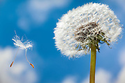 Seeds from a dandelion (Taraxacum officinale) is dispersed by wind in Western Oregon.