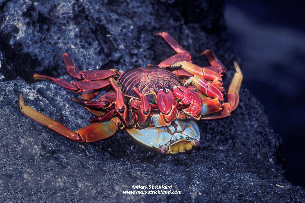 Sally Lightfoot crabs,  Grapsus grapsus, copulating near water's edge. Galapagos Islands, Ecuador