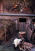 A goat belonging to traditional Alpine farmer Peter Eberle in the courtyard of a dairy and goat farm in Balzers, Liechtenstein, on 8th February 1990, in Balzers, Liechtenstein. Liechtenstein is a landlocked Principality bordered by the Alpine countries of Austria and Switzerland and is a winter sports resort, though best known as a tax haven, attracting companies worldwide to register their assets in complete secrecy. Its agricultural output is mainly wheat, barley, corn, potatoes, livestock and dairy products though technology companies have been eroding the traditional ways of life such as Peters for decades.