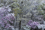 Snow covered trees during the mid-spring bloom at Keehner Park in southwestern Ohio, USA