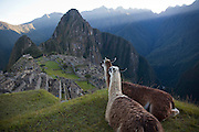 Llamas watching the incan city of Machu Picchu at sunrise, Peru.