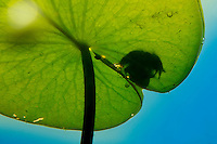 Pool frog (Pelophylax lessonae) silhouetted through a waterlily leaf, Danube Delta, Romania.