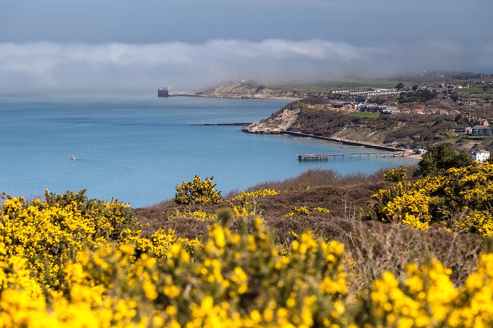Yellow Gorse in Bloom on Headon Warren in the West Wight