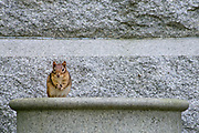 """An eastern chipmunk (Tamias striatus) stares defiantly from his seat on an old granite urn in Mount Auburn Cemetery, Cambridge, Massachusetts.  The eastern chipmunk is the sole living member of the chipmunk subgenus Tamias, and is found only in eastern North America.  The name """"chipmunk"""" is derived from the Algonquian language meaning """"one who descends trees headlong.""""  The eastern chipmunk reaches 30 cm (12 in) in length including the tail, with a weight of 66–150 g (2.3–5.3 oz).  Interestingly, it has two fewer teeth than other chipmunks and four toes each on the front legs, but five toes on each of the hind legs.  Although they climb trees well, they construct underground nests with extensive tunnel systems, and several entrances. To hide the construction of its burrow, the eastern chipmunk carries soil away from its hole in its cheek pouches.  They are mainly active during the day, consuming bulbs, seeds, fruits, nuts, green plants, mushrooms, insects, worms, and bird eggs.  The eastern chipmunk leads a solitary life, except during mating season. Females usually produce one or two litters of three to five young, usually from February to April and/or June to August. On average, eastern chipmunks live three or more years in the wild, although in captivity they may live up to eight years."""