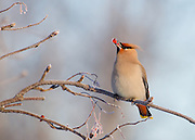 A bohemian waxwing eats berries on a winter day.