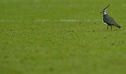 24-02-2013 VOETBAL: FC UTRECHT - RODA JC: UTRECHT<br /> Utrecht wint met 4-0 van Roda / Een kievit bekijkt de grasmat maar eens<br /> ©2013-FotoHoogendoorn.nl