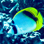 Spot Nape Butterflyfish inhabit coral rich areas of reefs. Picture taken Fiji.