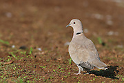 Eurasian Collared Dove, Streptopelia decaocto Israel Autumn 2007