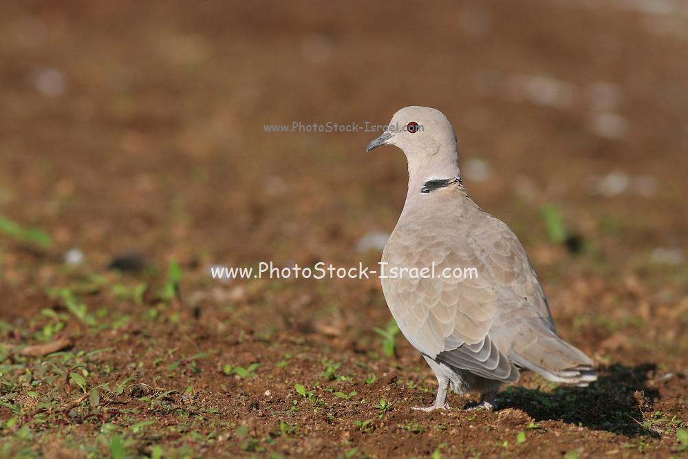 Eurasian Collared Dove, Streptopelia decaocto Israel Autumn 2007