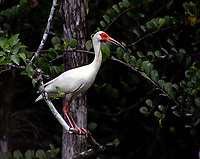 Ibis in the  Florida Everglades photo by Catherine Brown