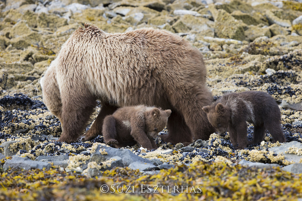 Brown Bear<br /> Ursus arctos <br /> Mother and 3-4 month old cubs foraging for clams<br /> Katmai National Park, AK