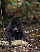 Crested Black Macaques (Macaca nigra)  with baby nursing the mother. Photo from Tangkoko Nature Reserve, northern Sulawesi, Indonesia.