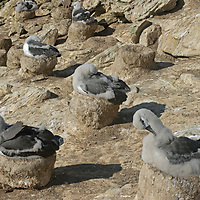 Young Black Browed Albatrosses sit on their nests at a rookery on New Island, in Britain's Falkland Islands.