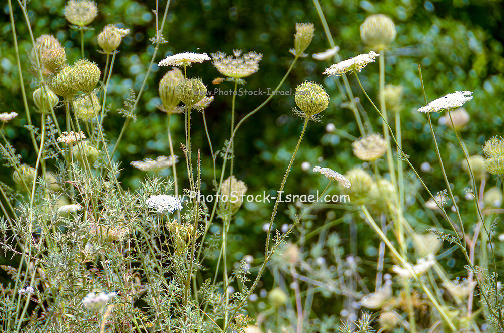 Daucus carota (common names include wild carrot, bird's nest, bishop's lace, and Queen Anne's lace). Photographed in June in the Carmel Mountain, Israel