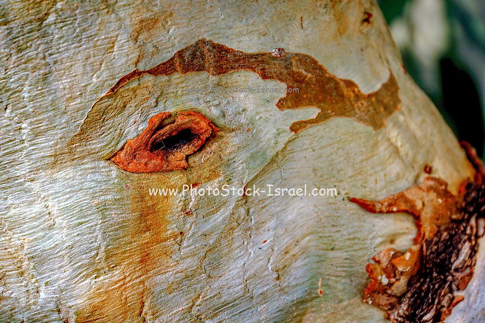Peeling tree trunk Close-up
