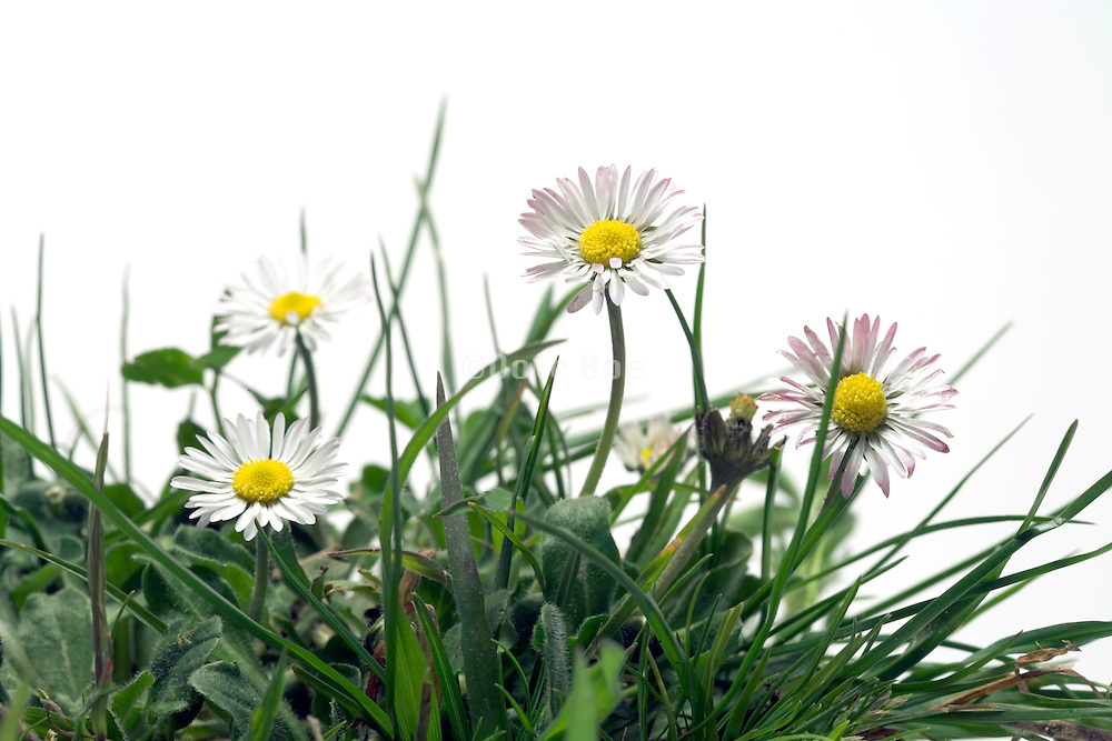 close up of oxeye daisy flowers with grass