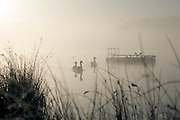 © Licensed to London News Pictures. 06/11/2014. Richmond, UK. Swans glide across a misty lake.  People and animals during a frosty start to the day on 6th November 2014. Temperature fell across the country overnight. Photo credit : Stephen Simpson/LNP