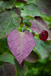 The leaf of Cercis canadensis 'Forest Pansy' AGM - Redbud