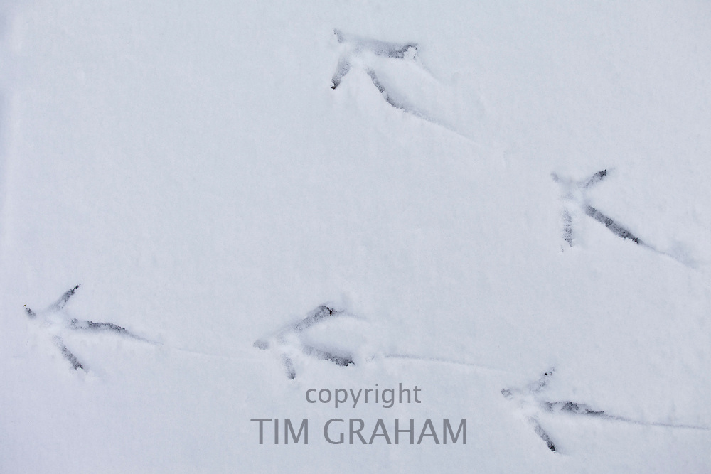 Pheasant footprints in the snow in frosty wintry landscape in The Cotswolds, Oxfordshire, UK