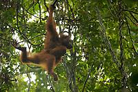 Adult female Walimah with one month old infant.<br />Brachiating through for forest canopy.<br /><br />Bornean Orangutan <br />Wurmbii Sub-species<br />(Pongo pygmaeus wurmbii)<br /><br />Gunung Palung Orangutan Project<br />Cabang Panti Research Station<br />Gunung Palung National Park<br />West Kalimantan Province<br />Island of Borneo<br />Indonesia