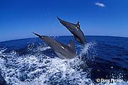 bottlenose dolphins, Tursiops truncatus (c-r)<br /> jump sequence (#3 of 3)<br /> Roatan, Honduras ( Caribbean Sea )