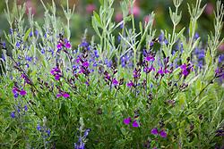 Salvia greggii 'Blue Note', Salvia 'Dyson's Gem' and Lavandula dentata with bee