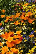 Californian poppy, Eschscholzia californica, Orange poppy's in flower in sunlight in a meadow.UK.